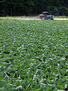 キャベツ栽培