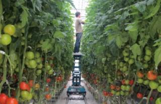 トマト多段栽培